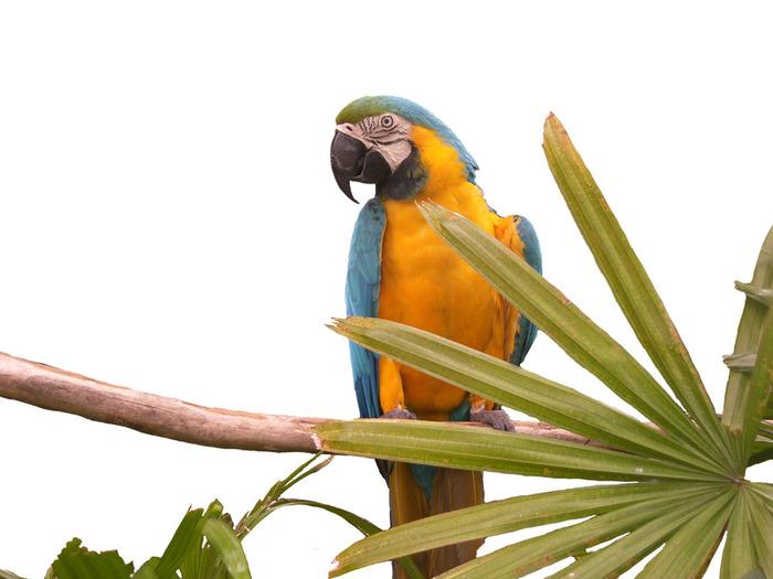 домашний попугай2