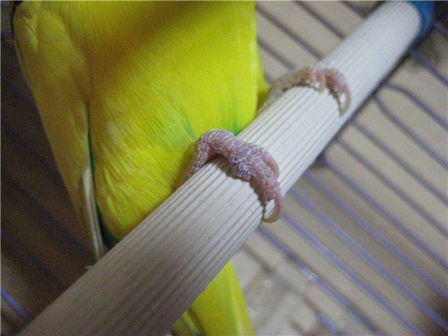 лапы попугая