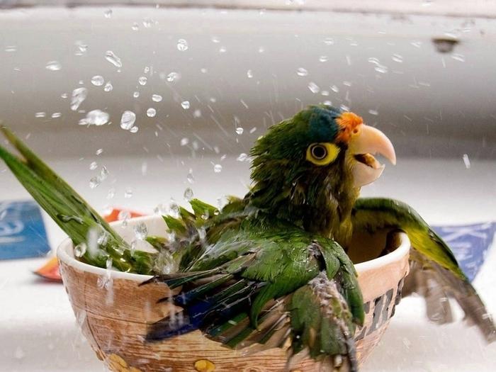 Опрыскивайте попугая
