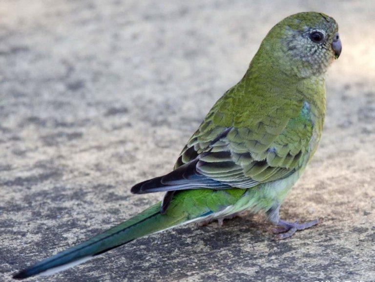 фото певчий попугай