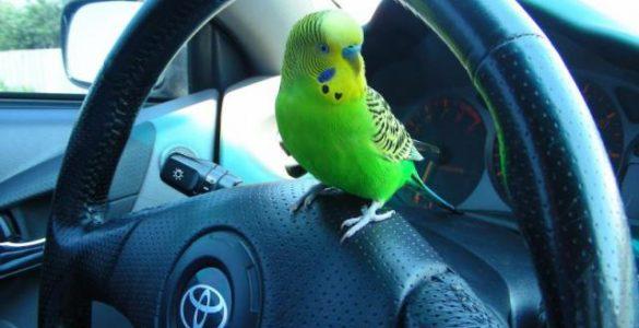 Транспортировка попугаев