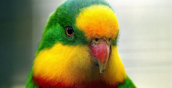 Домашние волнистые попугаи