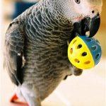 Обучение и дрессировка попугаев
