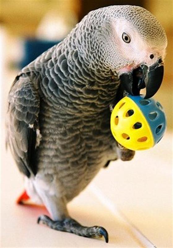 Член у попугаев