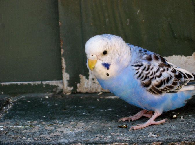 Деформация клюва доставляет волнистому попугаю кучу неприятностей