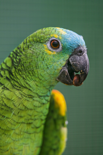 Важно не только знать, чем кормить попугая, но и как это правильно делать