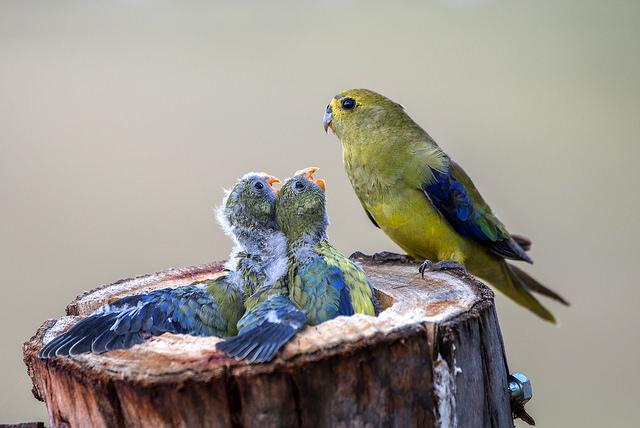 Редко, когда мама-попугай отказывается от своего выводка. Она сама его кормит