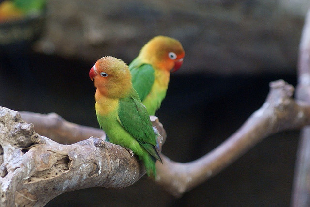 Попугаям необходимо общение. Лучше парочкой им жить, чтобы в клетке не тужить