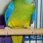 Как определить пол попугая?