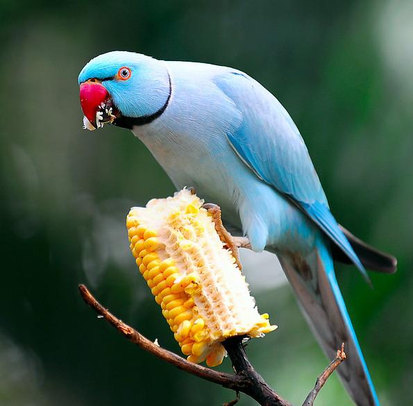 Чем можно кормить попугая