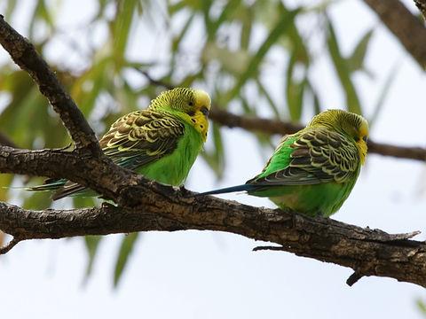 Парочка попугайчиков