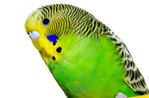 Воспаление глаза у волнистого попугая лечение
