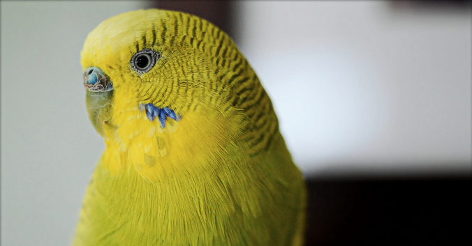 Болезни глаз попугаев
