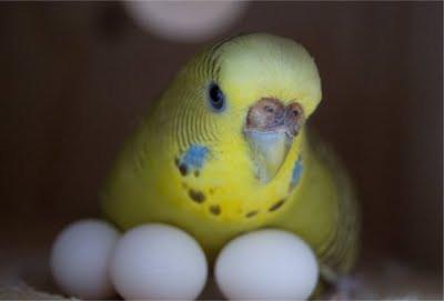 Высиживание попугаями