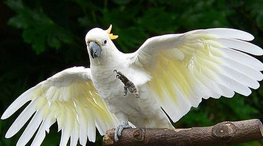 попугаи какаду, какаду, виды попугаев