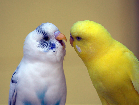 Парочке попугаев необходим домик для выведения потомства