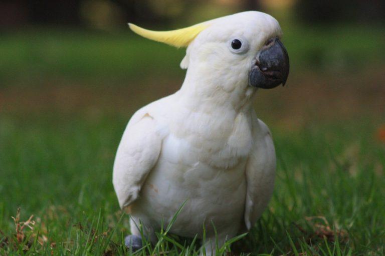 попугаи какаду, содержание попугаев какаду