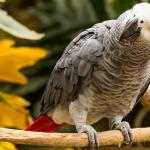 Любознательные попугаи жако