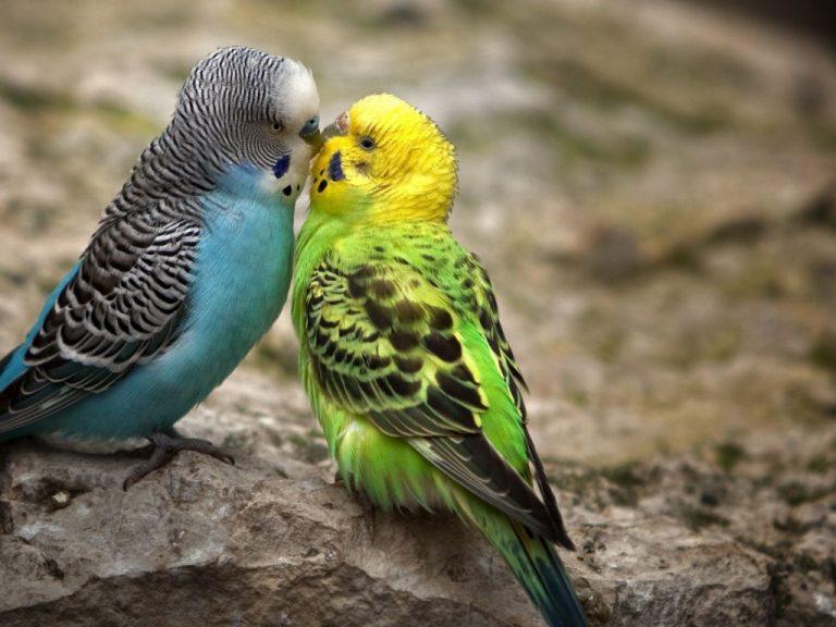 два попугая, несколько попугаев, что говорит попугай