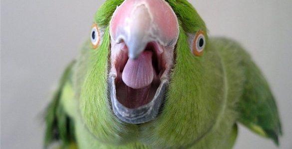 говорящий попугай, как попугай говорит, почему говорят попугаи