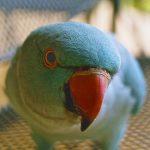 О чем хотят сказать попугаи своим поведением