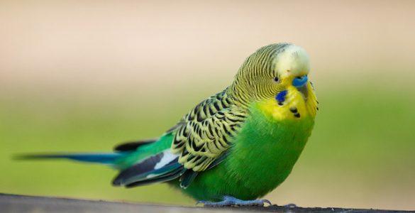 Сколько лет живут волнистые попугаи