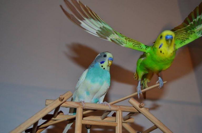 Слушать говорящего волнистого попугая