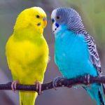 Как подобрать пару попугаю?