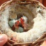 Кормление и уход за птенцами попугаев