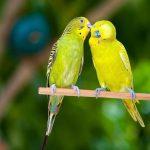 Как правильно кормить попугаев