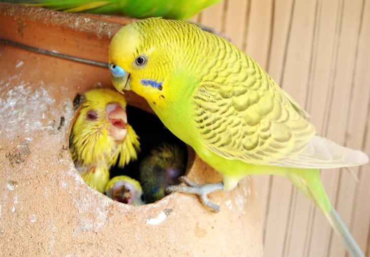 Как ухаживать за птенцами попугаев