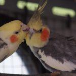 Как определить пол попугая корелла?