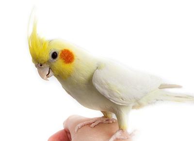 Попугаи корелла уход и содержание