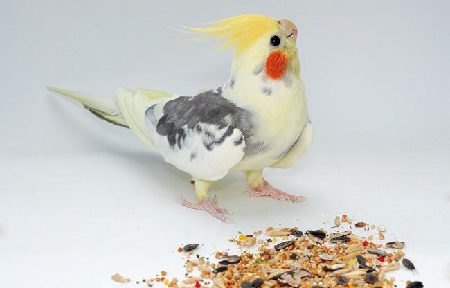 Попугай корелла уход кормление