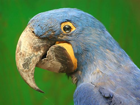грустный попугай