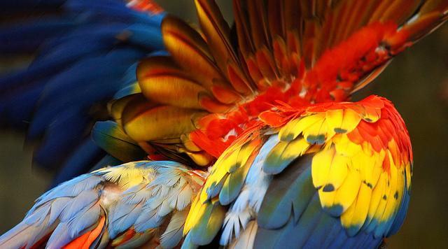 перья попугая