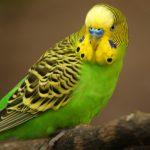 Почему волнистый попугай дрожит?
