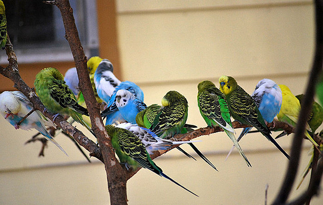 Настоящие попугаи