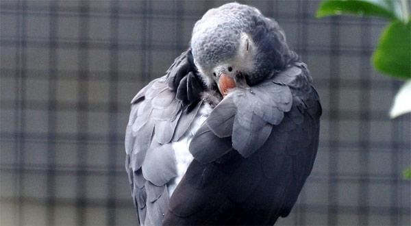 Попугай постоянно спит
