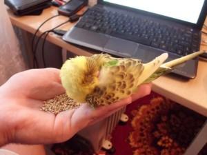 волнистый попугай постоянно спит