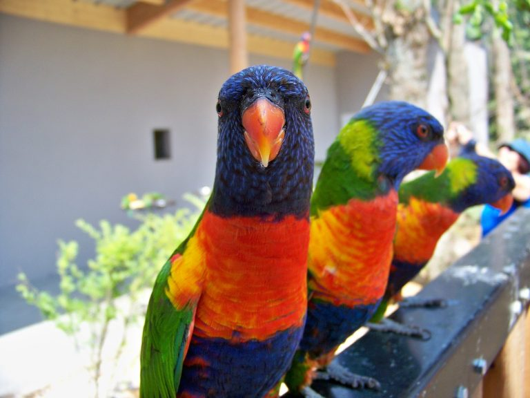 birds-parrots