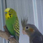 Волнистый попугай и корелла