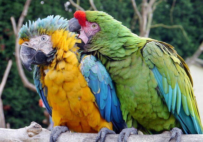 macaw-2