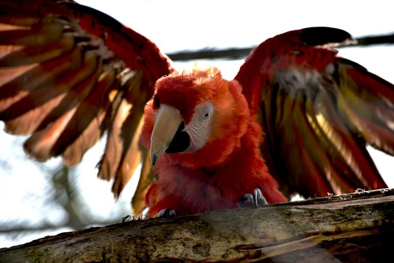 Macaw-areal