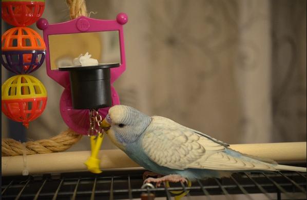 Выставочные волнистые попугаи тоже с удовольствием играют мячиками и колокольчиками, грызут веточки и катаются на качелях