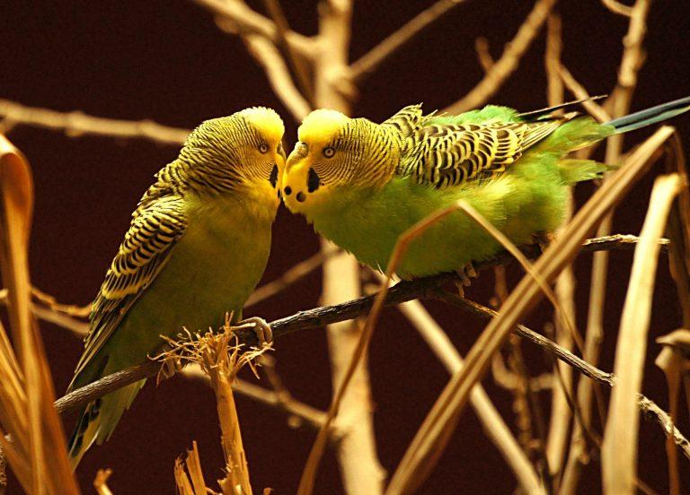дикие волнистые попугаи