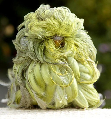 Feather Duster budgie