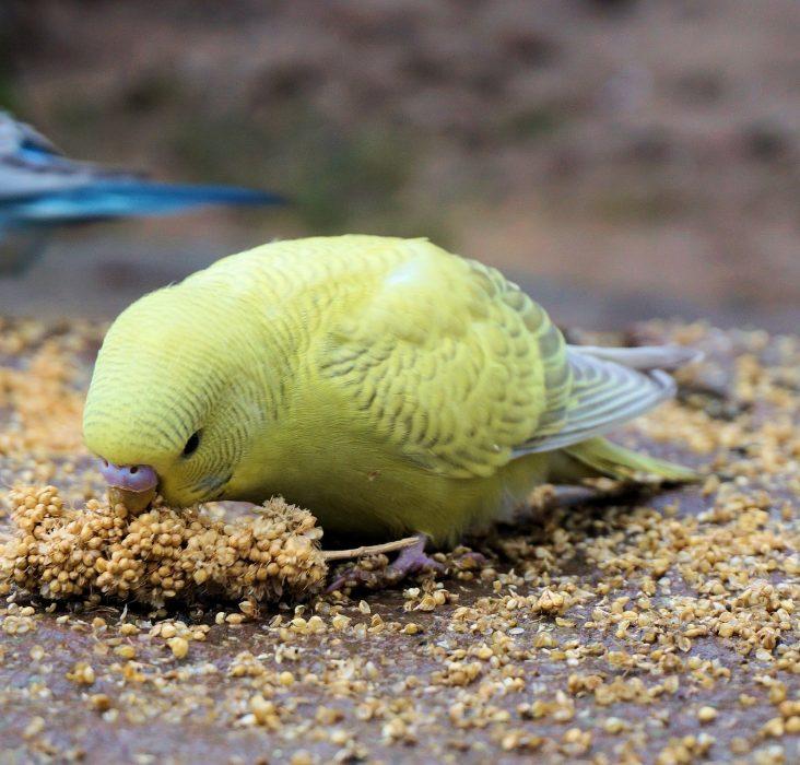 коричный попугай