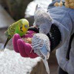 Чем кормить волнистых попугаев кроме корма