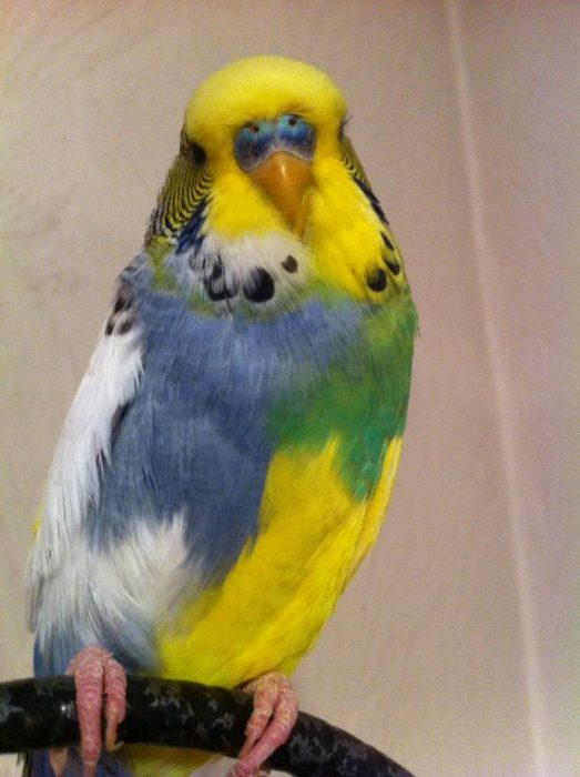 фиолетовые попугаи